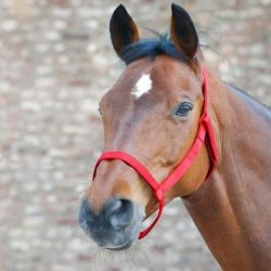Licol cheval prairie plat sans boucle Waldhausen - Le Paturon