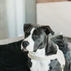 Body Safe Wool Kentucky harnais chien beige - Le Paturon