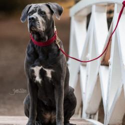 1 Collier Kentucky dog collar Corduroy - Le Paturon