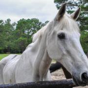 perte d'état cheval