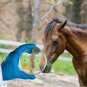 leptospirose cheval